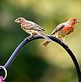 Male And Female House Finch by Linda Tiepelman