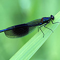 Male Banded Damselfly by Dr Keith Wheeler