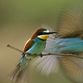 Male Bee Eater Leaves Perch To Find by Joe Petersburger