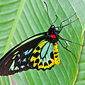 Male Cairns-birdwing Butterfly by Chris Thaxter