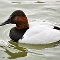 Male Canvasback Duck  by Saija  Lehtonen