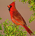 Male Cardinal 2 by D Robert Franz