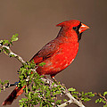Male Cardinal by D Robert Franz