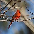 Male Cardinal by David Campione