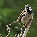 Male Common Sparrow by Sarah Broadmeadow-Thomas