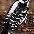Male Downy Woodpecker by Larry Ricker