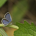 Male Eastern Tailed Blue Butterfly 3063 by Michael Peychich