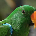 Male Eclectus Parrot by Sharon Mau