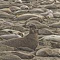 Male Elephant Seal Barking Amidst by Robert Postma