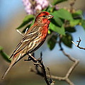 Male Finch by Alan Hutchins