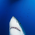 Male Great White Shark Showing Teeth by Todd Winner