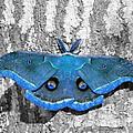 Male Moth Light Blue by Al Powell Photography USA
