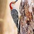 Male Red-bellied Woodpecker by Larry Ricker