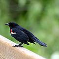 Male Red-winged Blackbird by April Wietrecki Green