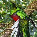 Male Resplendent Quetzal by Heiko Koehrer-Wagner