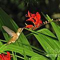 Male Rufous Hummingbird by Sean Griffin