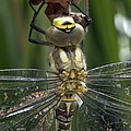 Male Southern Hawker Dragonfly by Dr Jeremy Burgess