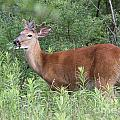 Male White Tailed Deer In A Spring Meadow by Inspired Nature Photography Fine Art Photography