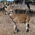 Male White-tailed Deer by Science Source