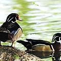 Male Wood Ducks by John Blanchard