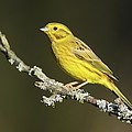 Male Yellowhammer by Colin Varndell