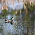 Mallard - Duck - Lonely Guy by Travis Truelove