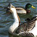 Mallard And Chinese Swan Goose - Anser Cygnoides - Featured In Wildlife Group by Ericamaxine Price