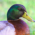 Mallard Drake In Shade by Robert Frederick