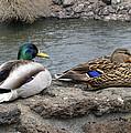 Mallard Duck Couple by Daniel Hagerman