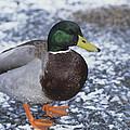 Mallard Duck by David Aubrey