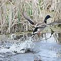 Mallard Duck Flying by Lori Tordsen