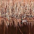 Mallard Duck by Josef Pittner