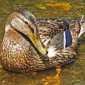 Mallard Duck by Mary Anne Williams