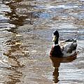 Mallard Duck by Travis Abe-Thomas