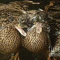 Mallard Ducks Underwater by Ted Kinsman
