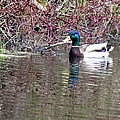Mallard On A Pond by Don Downer
