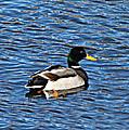 Mallard Swimming by Ms Judi
