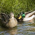 Mallards Nesting by Tim Mulina