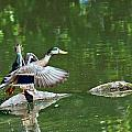 Mallards Taking Off by Edward Peterson