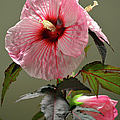 Mallow Hibiscus by Sandi OReilly