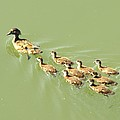 Mama Duck And Ducklings by James Granberry