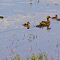 Mama Duck And The Kiddies by Mick Anderson