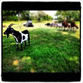 Mama Goat by Dana Coplin