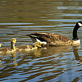 Mama Honker And Goslings by Kathy Clark