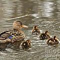 Mama Mallard With Babies by Deborah  Smith