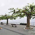 Man With Dog Walking On Empty Promenade With Trees by Matthias Hauser
