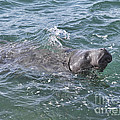 Manatee At Ponce Inlet by Deborah Benoit
