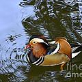 Mandarin Duck 04 by Arik Baltinester