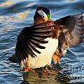 Mandarin Duck by Mats Silvan