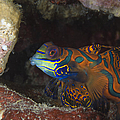 Mandarinfish Sheltering Amongst Rocks by Steve Jones